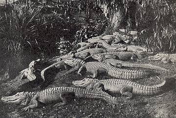congregation of alligators photo