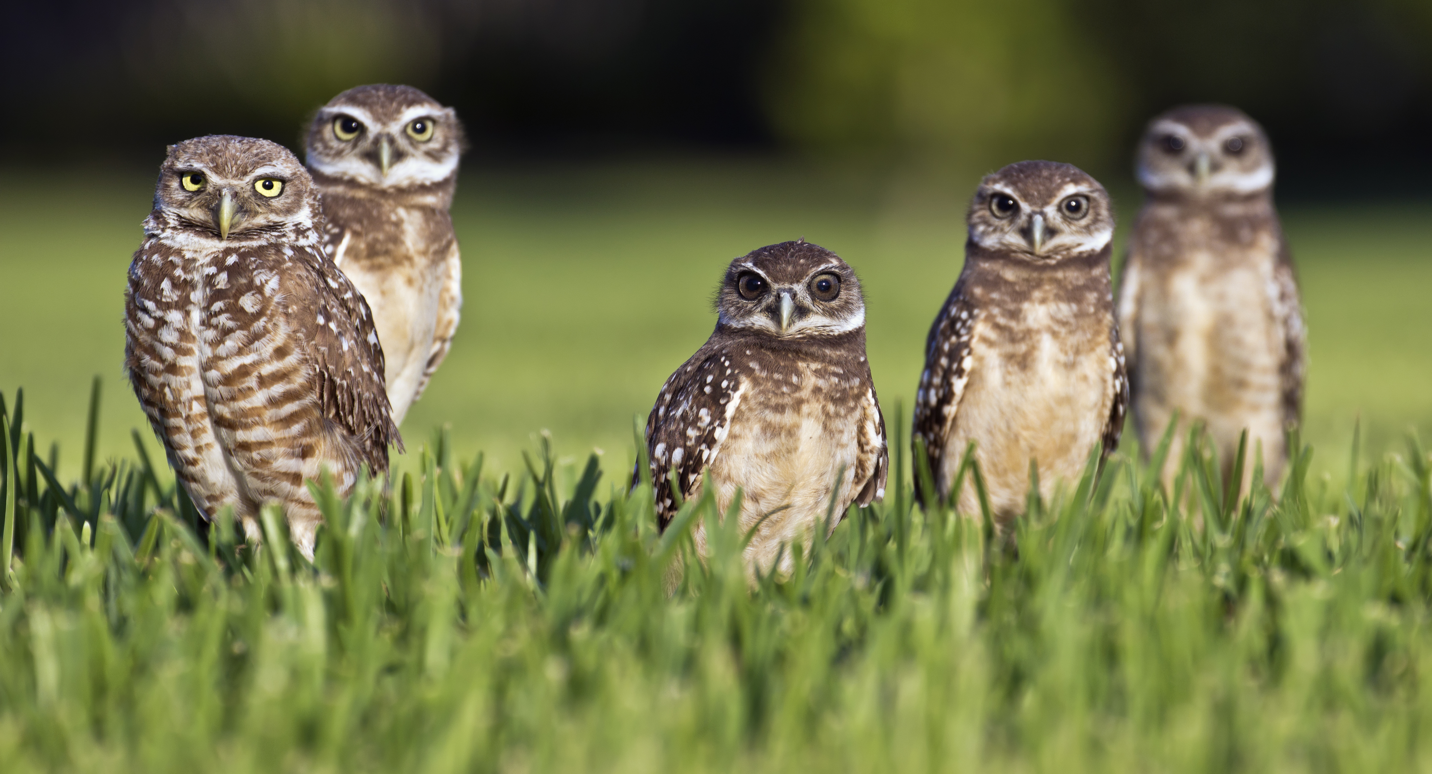 Group of burrowing owls is called a parliament photo