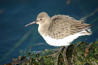 group of sandpipers called a fling photo