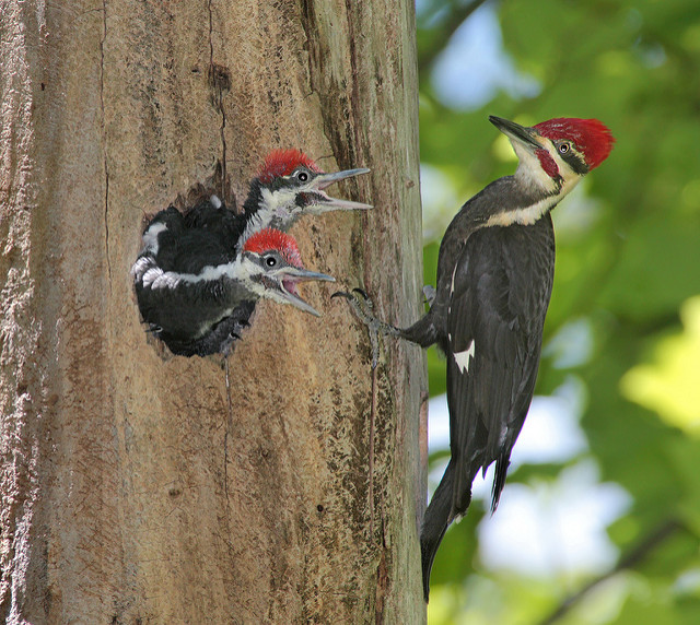 Group of woodpeckers is called a descent photo