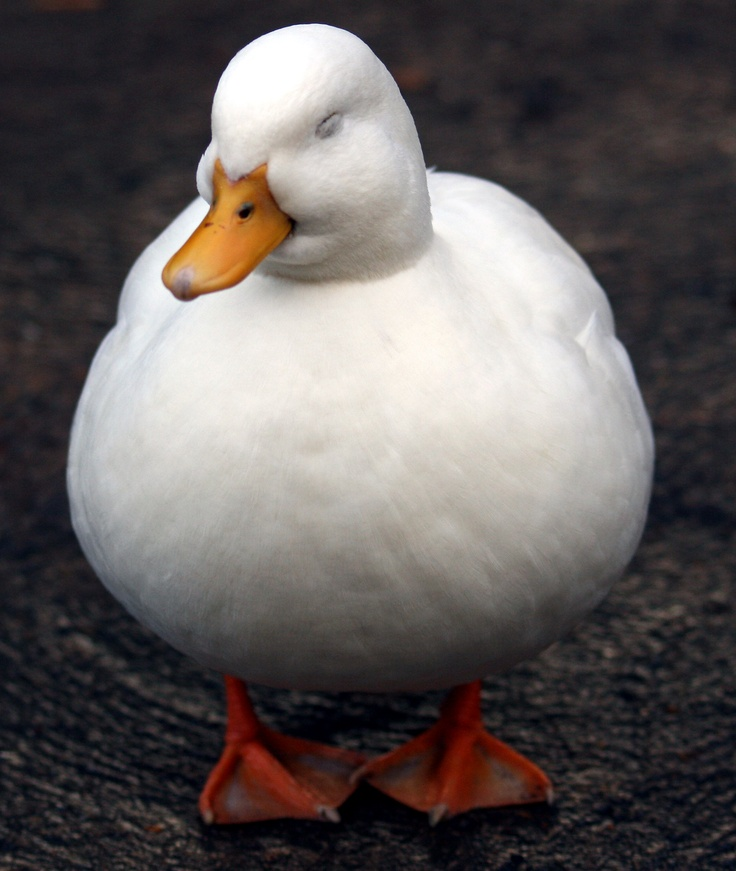 Plump of Waterfowl picture