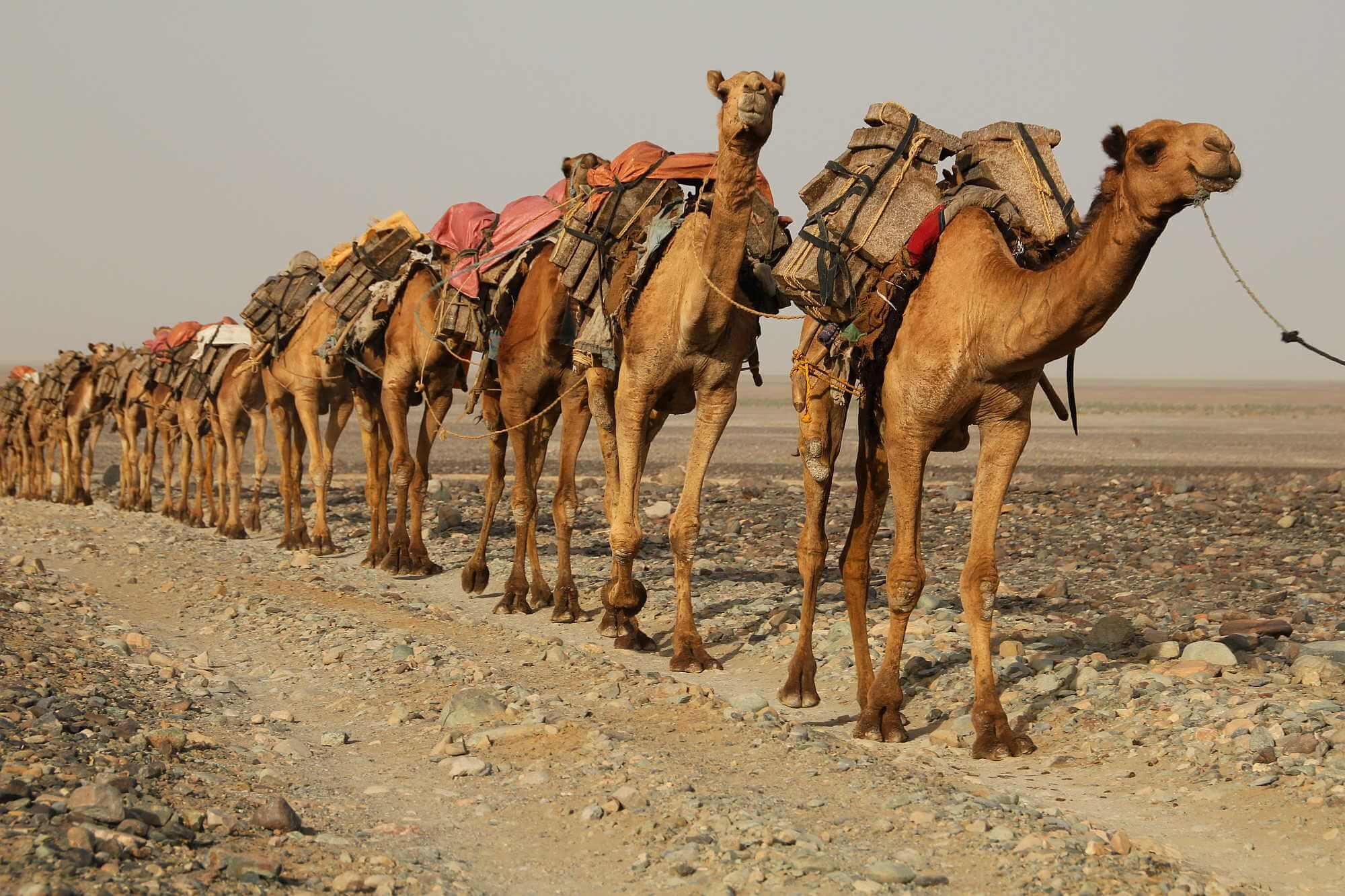 caravan of camels photo