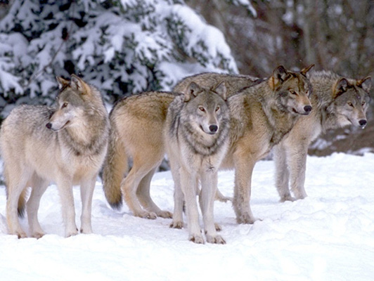 A Group of Wolves is called a Pack or Route