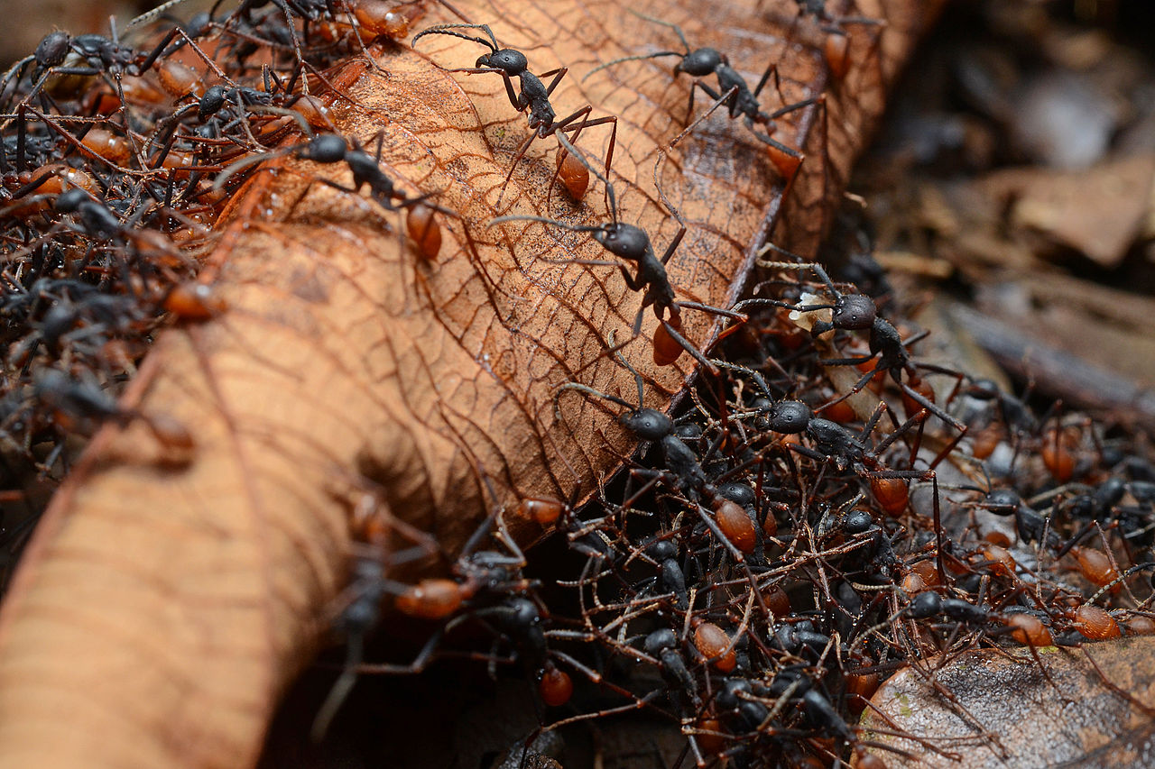 Group of Ants is called an army, colony or nest.