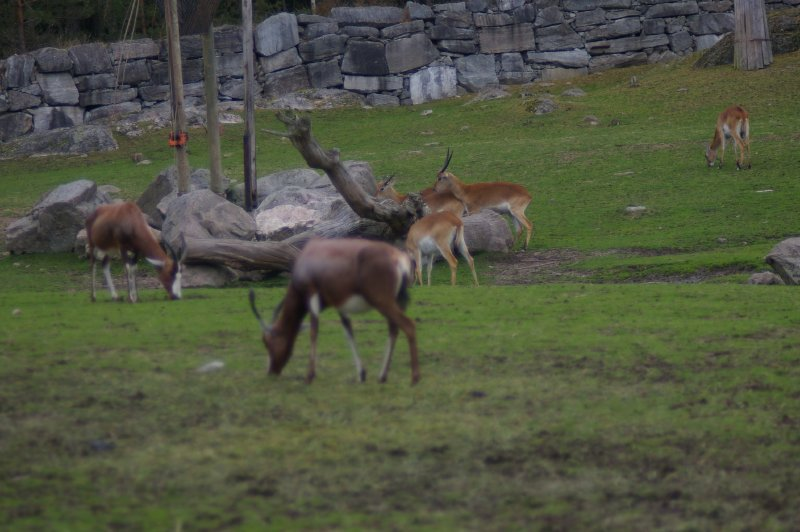 group of antelopes called a herd